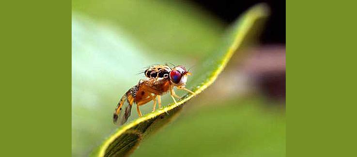 USDA APHIS | Mediterranean Fruit Fly