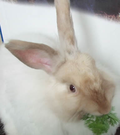 Rabbit picture from Wikipedia