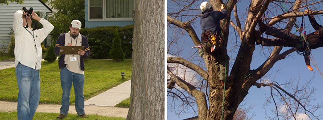 (Left) Ground inspectors use binoculars to search for Asian longhorned beetle infestations. (Right) Tree climbers scour tree branches for signs of the beetle.