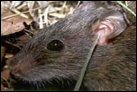 photo of invasive rodent