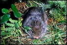 photo of mountain beaver