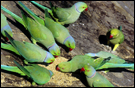 photo of rose-ringed parakeets