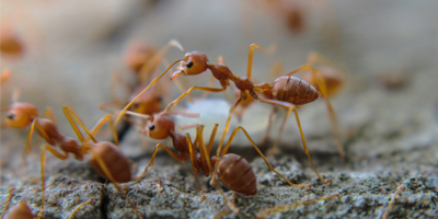 Imported Fire Ants Quarantined Areas