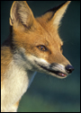 photo of red fox