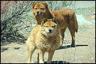 photo of stray dogs on Navajo nation land