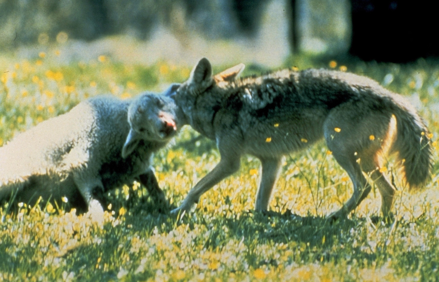 wolf attacking a sheep